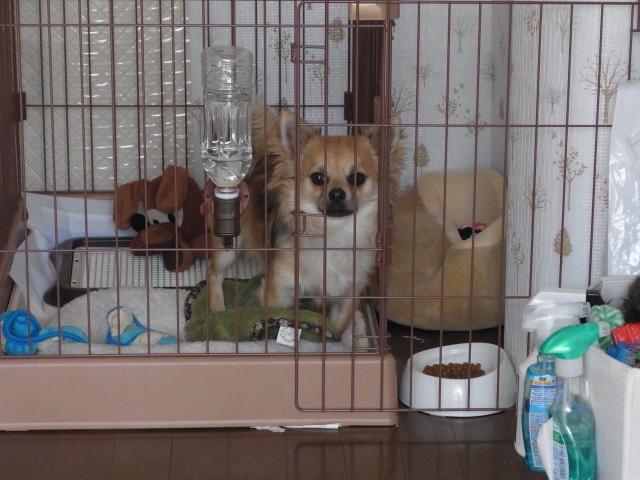 去勢手術が近づいている我が家の愛犬『リオ』
