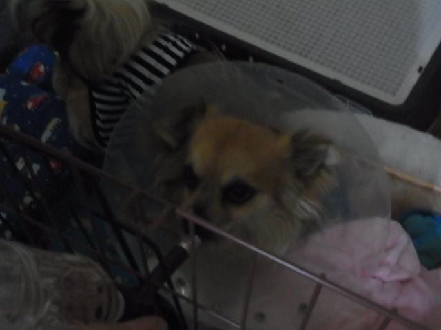 愛犬のリオが去勢手術を受けてしおらしくなって帰ってきた