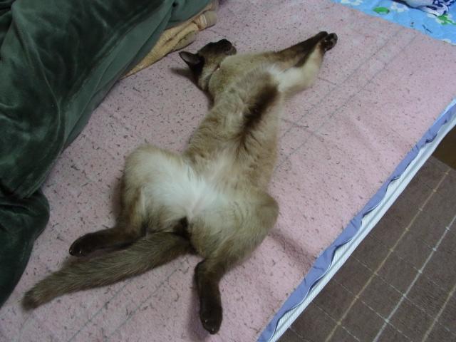 ネコのハクは今日もアホなポーズで眠る