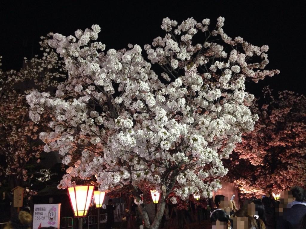 造幣局の『桜の通り抜け』に行ってきました【14年お花見画像】